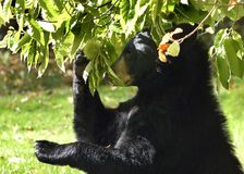 Black Bear Chooses Chestnut. American BlackBear ( Ursus americanus) picking a chestnut to eat Stock Photos