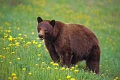 Black Bear. Cinnamon phase feeding in meadow of dandelion Royalty Free Stock Image