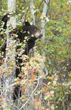 Black bear climbing aspen tree in the fall with colors Royalty Free Stock Photos