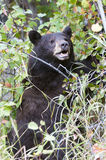 Black bear climbing hawthorn in the fall searching for berries a Stock Photos