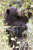 Black bear climbing hawthorn in the fall searching for berries a Stock Image