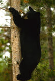 Black Bear Climbing Tree Royalty Free Stock Images