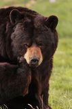 Black bear close up Stock Photography
