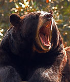 Black Bear. Close up portrait of American bear with open mouth Royalty Free Stock Image