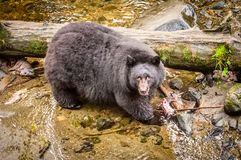 Black bear in a creek with salmon royalty free stock photos