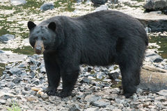 Black Bear while crossing the river Royalty Free Stock Photos
