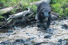 Black Bear while crossing the river Stock Photography