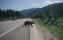Black bear crossing road. A black bear crosses the road near Mt Robson in the Canadian Rockies Royalty Free Stock Images