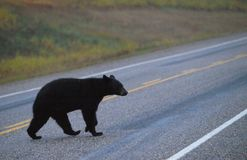 Black bear crossing road Stock Image