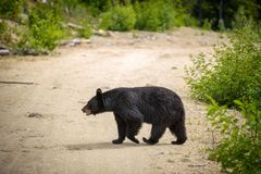 Black Bear crossing a road in forests of Banff National Park, Canada Stock Image