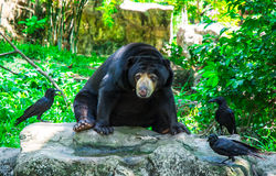 Black bear and crow on nature Royalty Free Stock Images