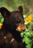 Black Bear Cub. Close up portrait of a cute young black bear cub Stock Photography