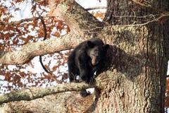 Black bear cub Royalty Free Stock Photo