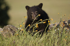 Black Bear Cub. Baby black bear in spring meadow with yellow flowers Stock Photography