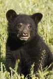 Black Bear Cub. Closeup of baby black bear in meadow with green grass background Stock Images