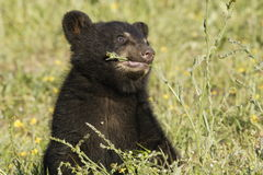 Black Bear Cub. Closeup of baby black bear in spring meadow nibbling on flower Royalty Free Stock Image