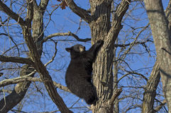 Black bear cub Royalty Free Stock Image