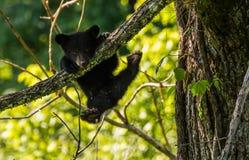 BLACK BEAR CUB Royalty Free Stock Images