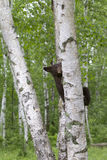 Black Bear Cub in a Birch Tree Royalty Free Stock Image