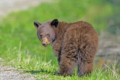 Black Bear Cub. Cinnamon colored Black Bear Cub standing on grass watching Stock Images