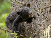 Black bear cub Royalty Free Stock Photos