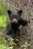 Black bear cub. Climbed in a tree Stock Photography