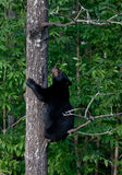 Black bear cub climbing tree Stock Images