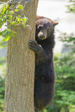 Black bear cub climbing Royalty Free Stock Photo