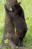 Black bear. Cub climbing up a tree Stock Photo
