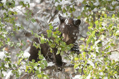Black bear cub concentrating hard on eating betties in hawthorn Royalty Free Stock Image