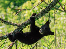 BLACK BEAR CUB Stock Images