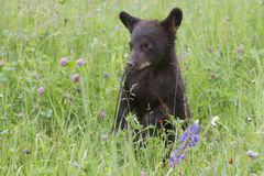Black Bear Cub in Field of Wildflowers Royalty Free Stock Photography
