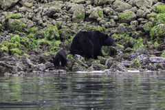 Black bear and cub. Forage on the shoreline at lowtide Tofino British Columbia Canada Royalty Free Stock Image