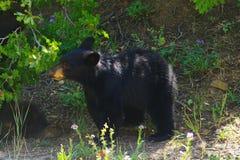 Black bear cub Stock Photography