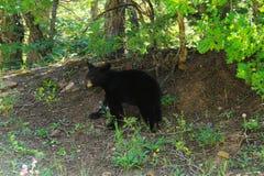 Black bear cub Stock Images