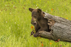 Black Bear Cub In A Hollow Log. A black bear cub explores a hollow log surrounded by wildflowers Stock Photos