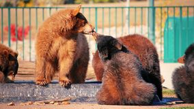 Black Bear Cubs royalty free stock images