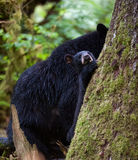 Black bear cub and mother Stock Images