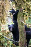 Black bear cub and mother in a tree Royalty Free Stock Photo
