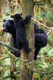 Black bear cub and mother in a tree Stock Photos