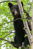 Black Bear Cub. A black bear cub resting in a tree Stock Photography