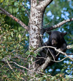 Black bear cub sitting in a tree Royalty Free Stock Image