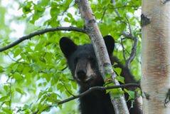 Black Bear Cub Stock Image