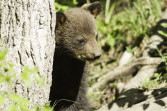 Black Bear cub in the spring Stock Photo