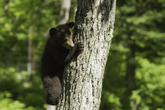 Black Bear cub in the spring Royalty Free Stock Images
