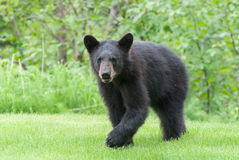 Black Bear Cub. A black bear cub standing in the grass Royalty Free Stock Photography