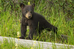 Black Bear Cub. A black bear cub stands on a log in Banff National Park, Alberta Stock Photo