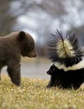 Black Bear Cub and Striped Skunk - motion blur