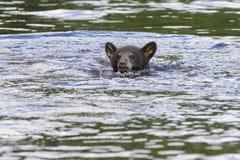 Black bear cub swimming in stream Royalty Free Stock Image