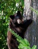 Black bear cub Royalty Free Stock Photography